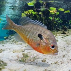 Redbreast Sunfish Medium