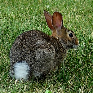 Eastern-Cottontail-2