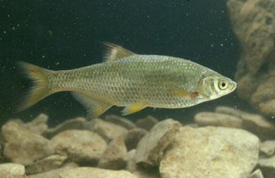 https://floridaspringsinstitute.org/springsfieldguide-fish/golden-shiner/