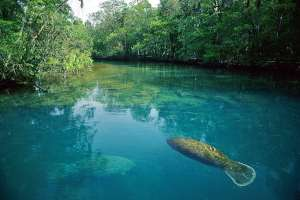 Manatees at Homosassa Springs
