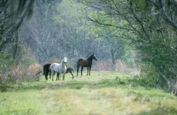 Wild Spanish Horses at Paynes Prairie