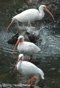 Ibises at Homosassa Springs