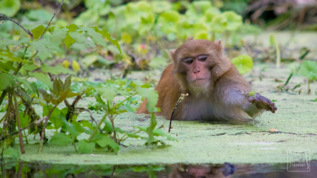 Rhesus Macaque Swimming