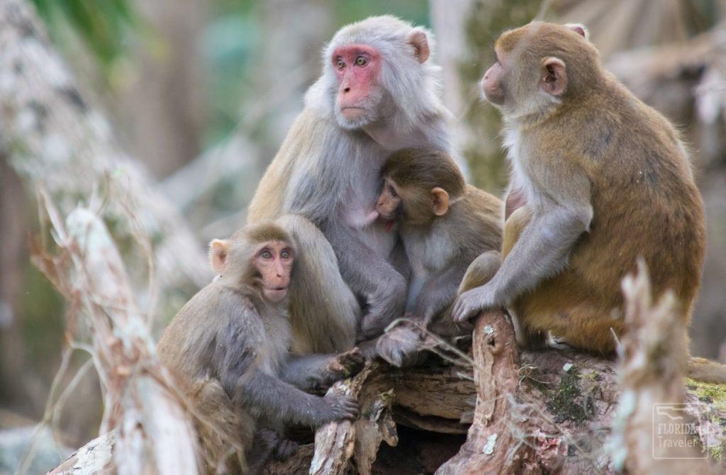 Family of rhesus macaque monkeys.