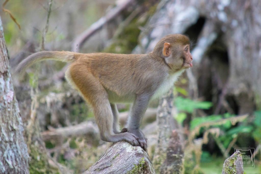 Juvenile Rhesus Macaque