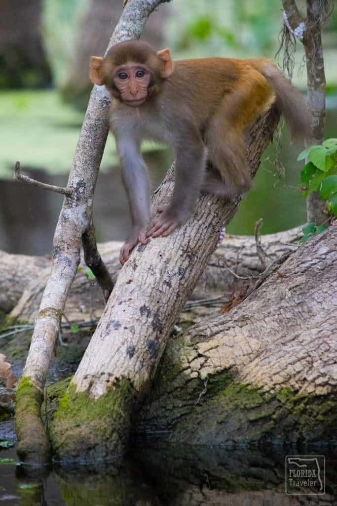 Young Rhesus Macaque
