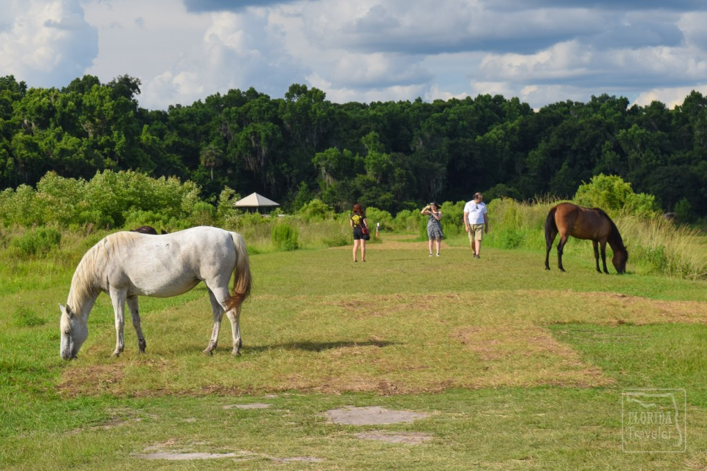 Wild Horses at Paynes Prarie