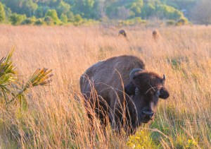 Florida Bison at Paynes Prairie