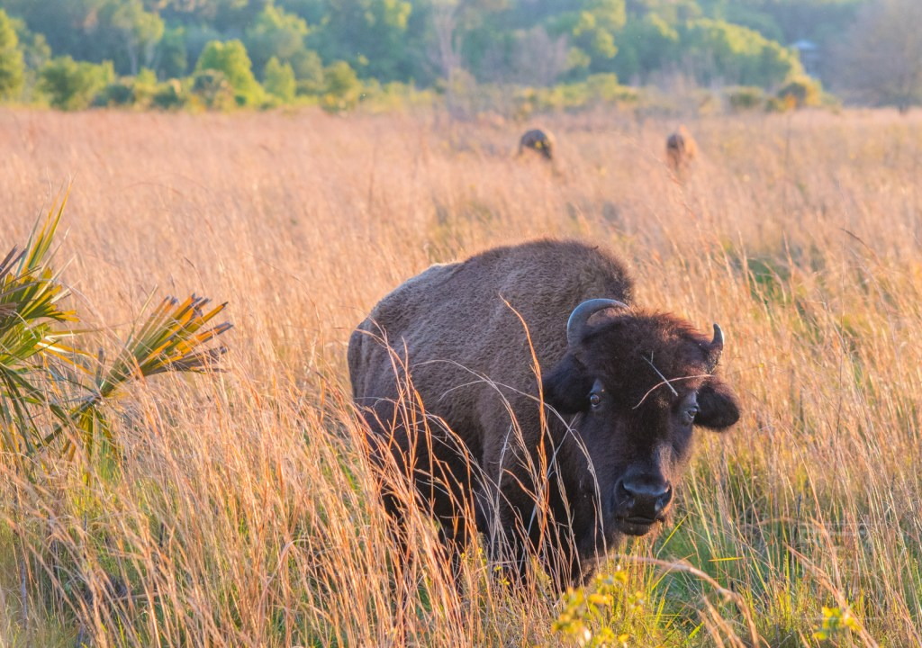 Florida Bison at Paynes Prairie