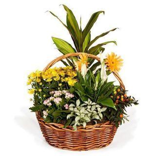 cesta-de-plantas-variadas-con-amarantha-y-spatiphyllum