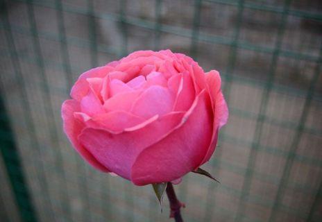 el-color-de-las-rosas