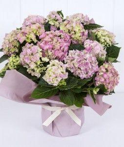 Planta hortensia