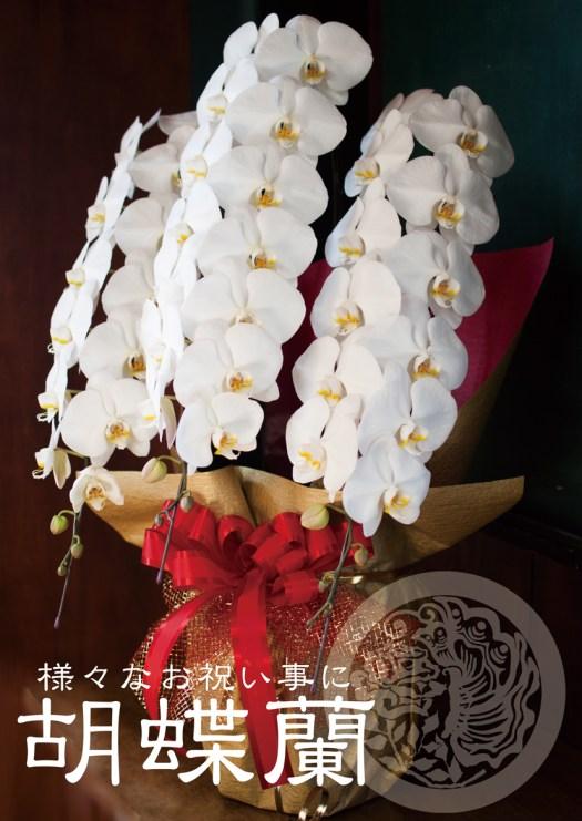 胡蝶蘭コチョウラン白3本立ち
