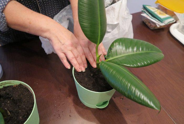 Jak propagovat Ficus doma s řízky, zrno, plechy, semena - krok za krokem