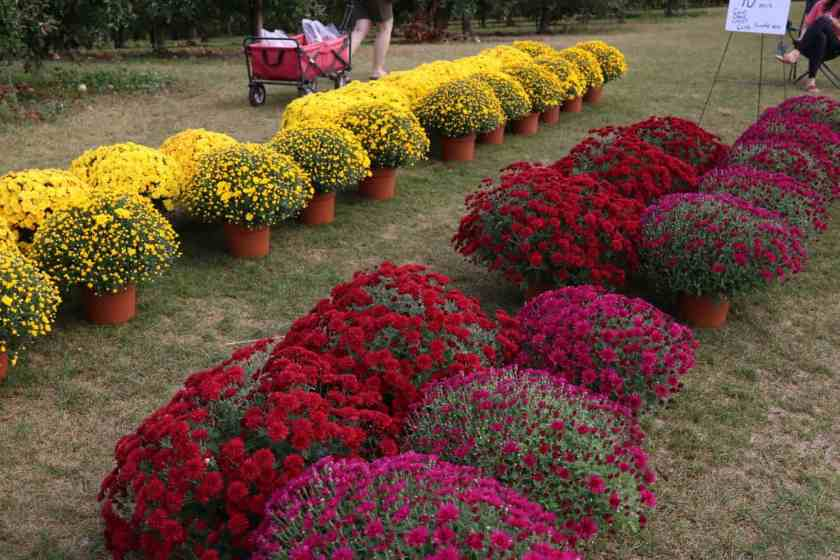 yellow, red, and purple mums for sale at Crane U-Pick Orchards