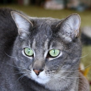 gray-tabby-cat-with-green-eyes-close-up-600x600