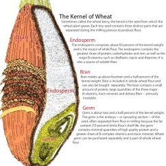 Grain Kernel Diagram Lifestyle Mid Position Valve Wiring Anatomy Of A Wheat