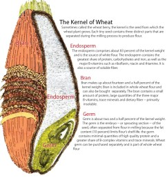 anatomy of a wheat kernel seed kernel diagram [ 937 x 1024 Pixel ]