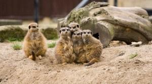 meerkat family 3