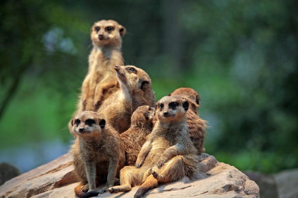 meerkat family 6