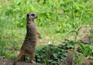 meerkat on his own 4