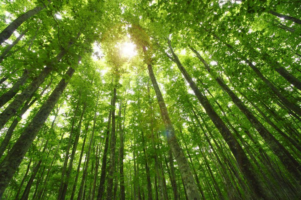 11844875 - beech forest