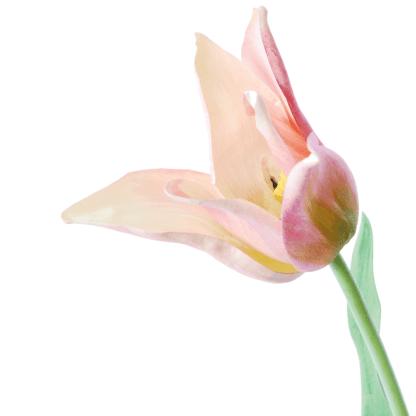Tulip-on-a-long-stem-pink-green-64cm