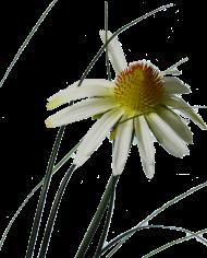 Echineacea-white-3