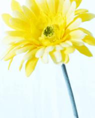 Gerbera-yellow-2