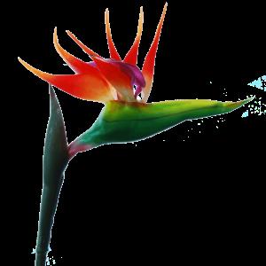 Flowerdutchess-strelitzia-80-cm-oranje
