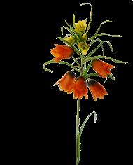 FlowerDutchess-keizerskroon-oranje-detail-3