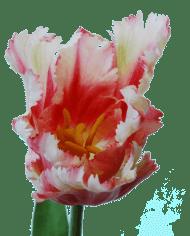 FlowerDutchess-Parkiet-tulp-roze-detail