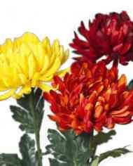FlowerDutchess-Chrysanten