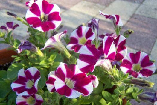 Cara Merawat Bunga Petunia di Rumah I Tanaman Hias   Flowerian.Com