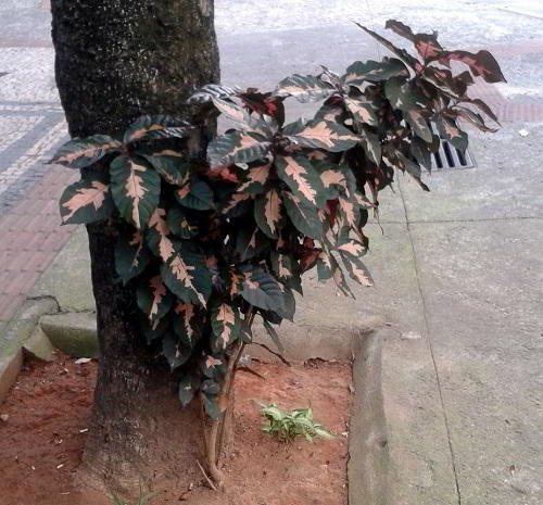 Daun Ungu yang Ajaib dari Tanah Papua  FlowerianCom