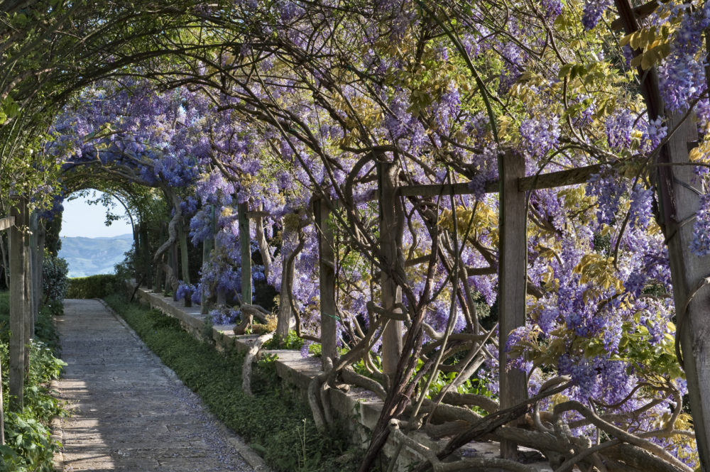 fragrant garden plants, wisteria