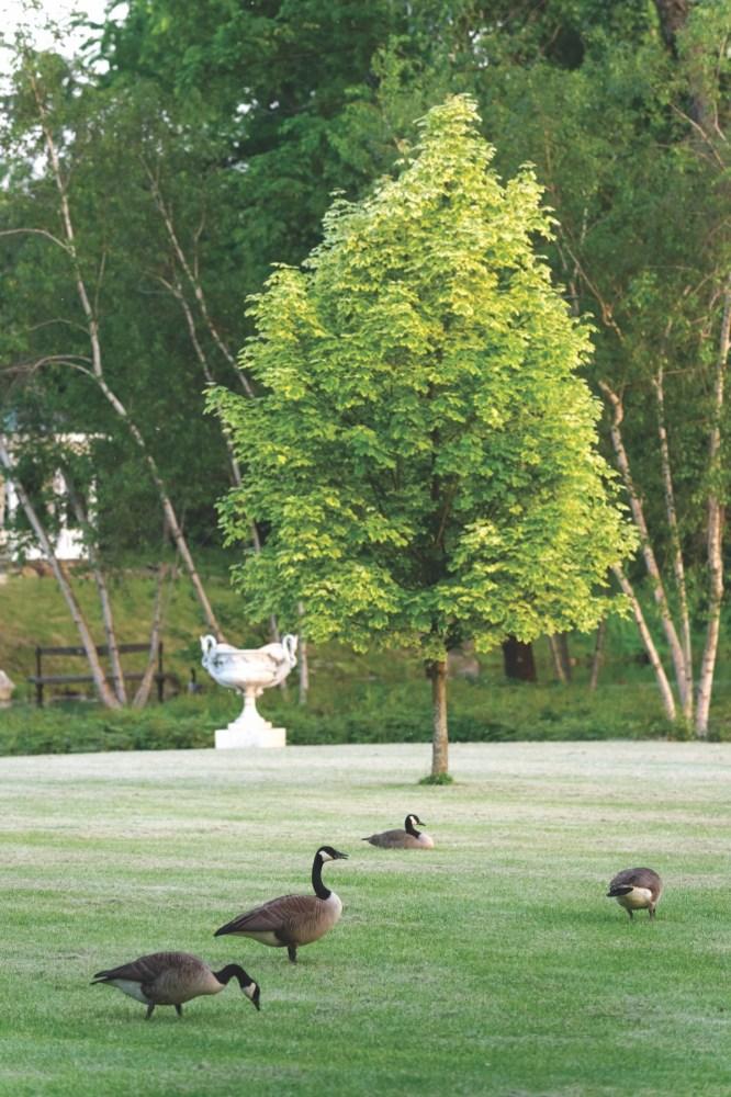 Zezé's Flower Farm, geese