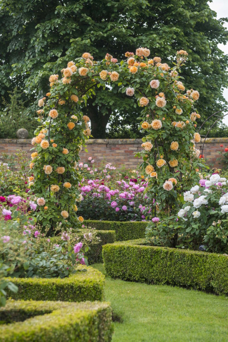 david austin roses - Pictures Of Rose Gardens