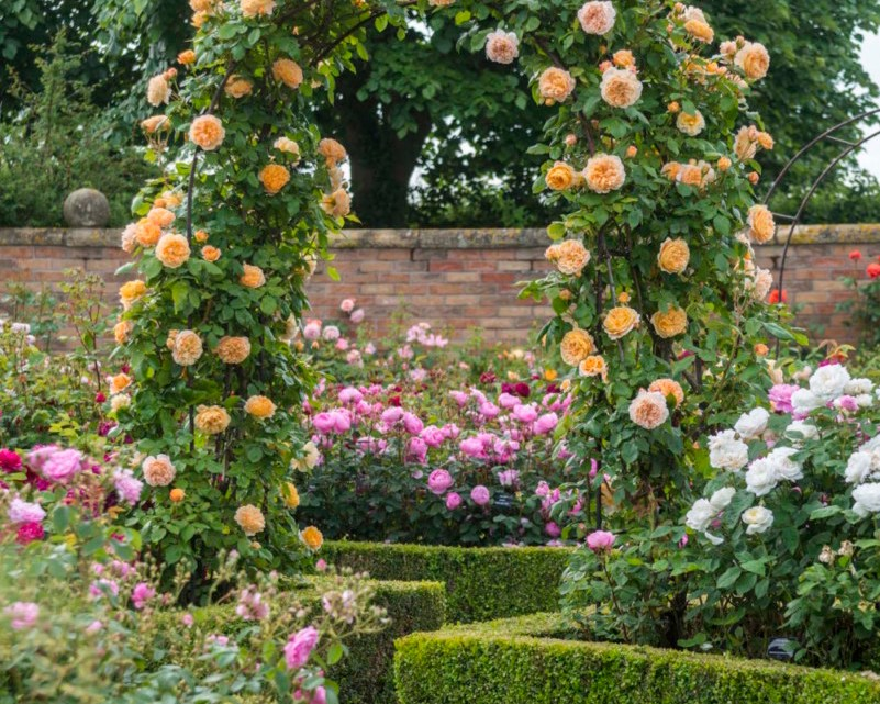 David Austin roses, Rosa 'Crown Princess Margareta'