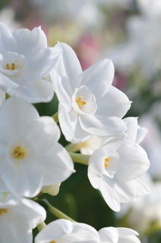 Narcissus (paperwhites)