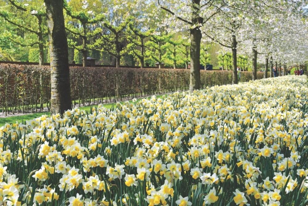 daffodils, narcissus, jonquils