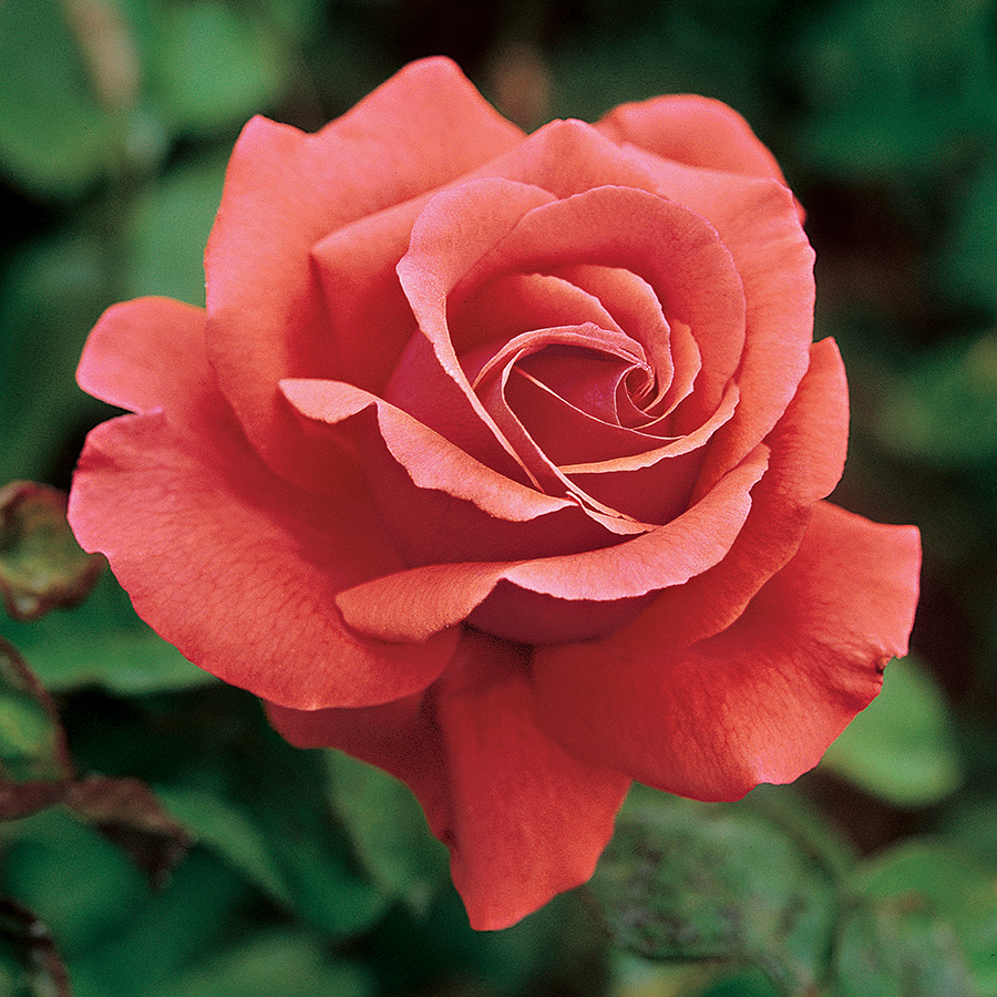 Our 16 Favorite Fragrant Roses | Flower Magazine