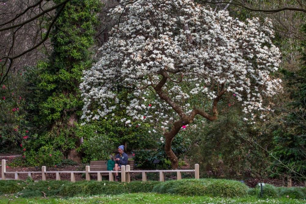 Magnolia denudata, white-flowering winter magnolia
