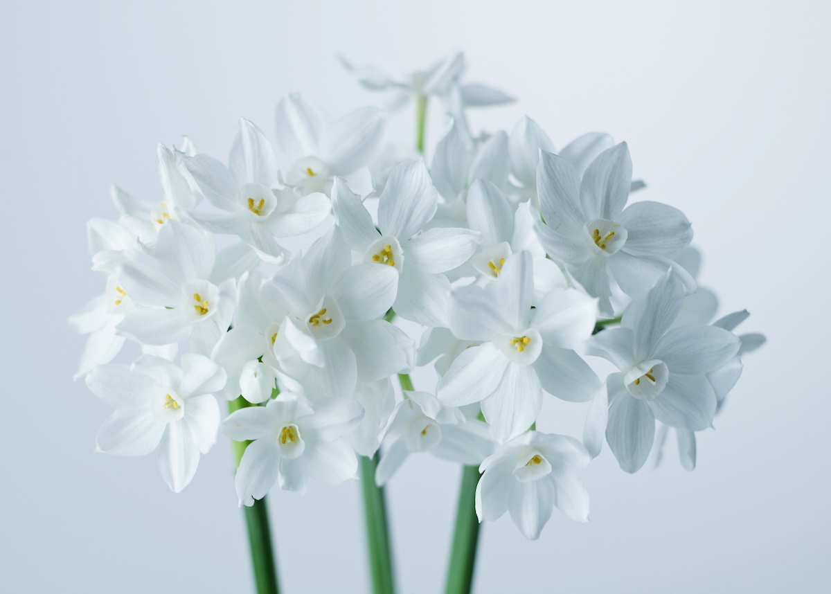 How To Force Paperwhites Flower Magazine