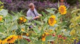 sunfower varieties, p allen smith