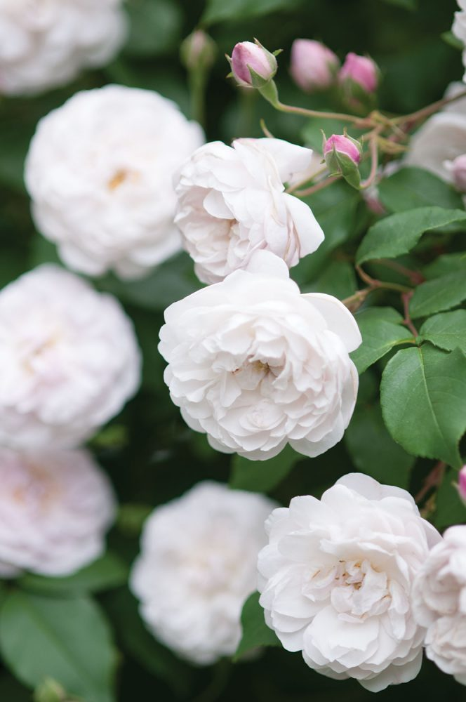 allen smith rose garden