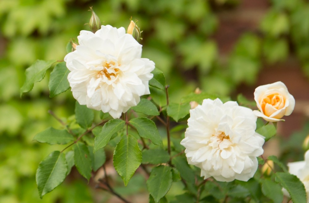 roses that tolerate shade, roses for small spaces, carefree roses