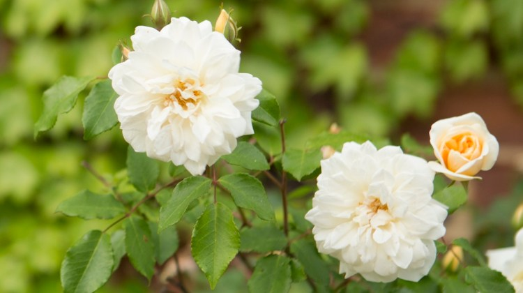 roses that tolerate shade