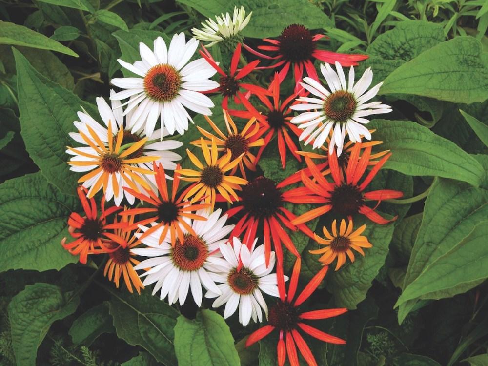 coneflower varieties, coneflower colors, orange coneflowers