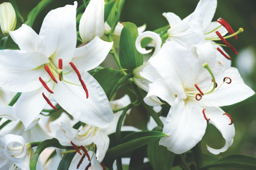 casa blanca lilies, white oriental lily, fragrant garden plants